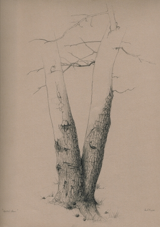 Sweet Gum (Tree Study) - Graphite Drawing by Paul Keysar